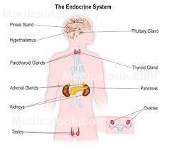 The body's endocrine system शरीर  की अंतःस्त्रावी तंत्र