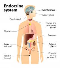 The body's endocrine system